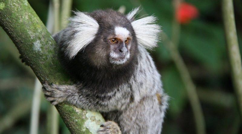 Morte de macaco no Entorno gera suspeita de febre amarela
