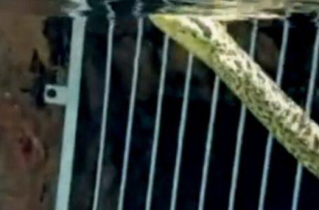 ASSISTA AO VÍDEO | Cobra sucuri surge ao lado de criança em resort no Rio Quente
