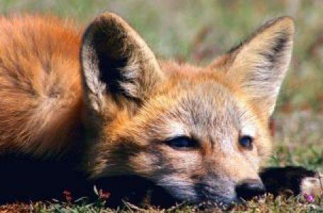 O FINO DA POLÍTICA | Atenção, Brasília! Cuidado com o político-raposa que usa pele de carneiro para esconder sua verdadeira face
